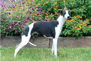 Whippets for sale