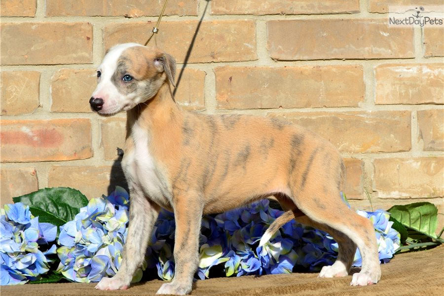 Whippet Puppies For Sale Adoption Near Me In Wyoming