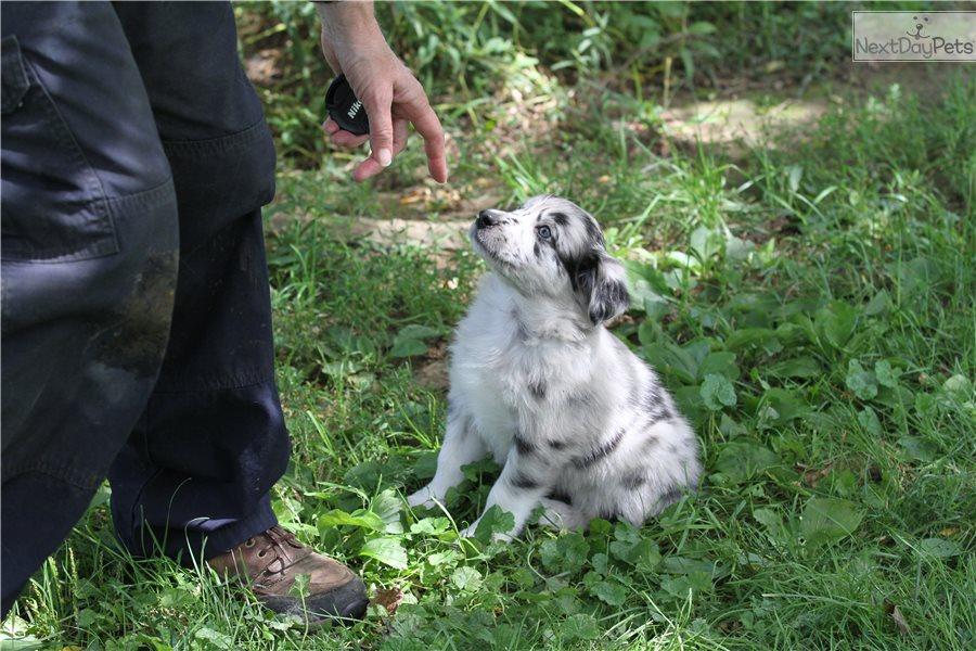 Turquois: Australian Shepherd puppy for sale near ...