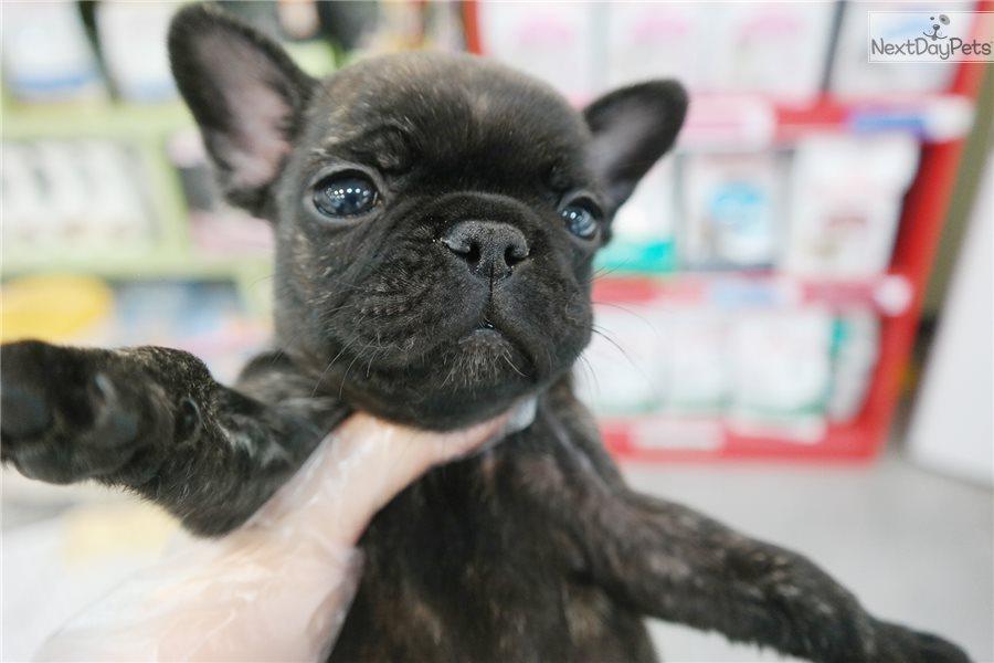 Dodo: French Bulldog puppy for sale near New York City ...