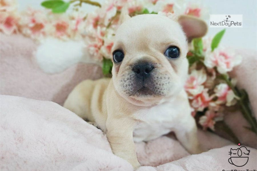 Becky: French Bulldog puppy for sale near New York City ...