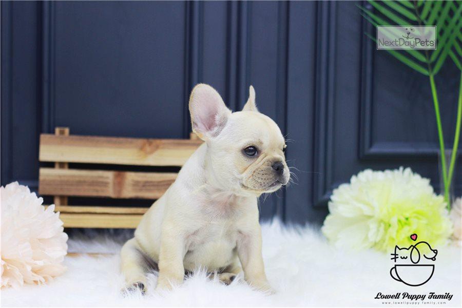Lala: French Bulldog puppy for sale near New York City ...