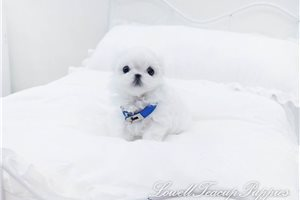 Picture of Teacup Maltese