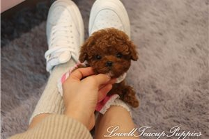 Picture of Teacup Poodle