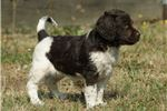 Picture of a Munsterlander Puppy