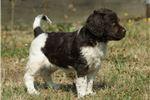 Picture of a Munsterlander Puppy