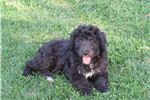 Picture of Black Tuxedo Male Aussiedoodle