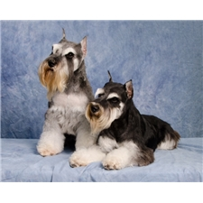 View full profile for Kindred's Classic Schnauzers