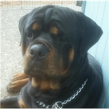 View full profile for Stotthause Rottweilers