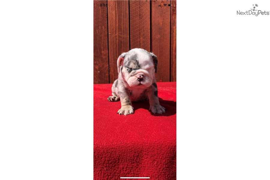 Baby Lilac English Bulldog Puppy For Sale Near Los Angeles
