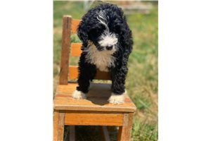Featured Breeder of Poma Poo Pomapoos with Puppies For Sale