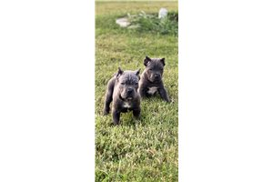 Cane Corso Mastiffs for sale