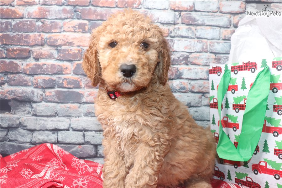 Snickers: Goldendoodle puppy for sale near Sioux Falls ...