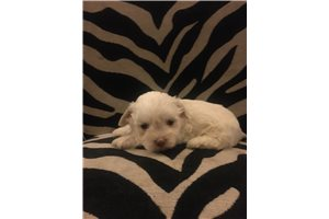 Karlee | Puppy at 5 weeks of age for sale