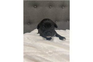 Spangle | Puppy at 7 weeks of age for sale