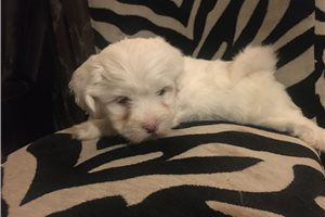Ari | Puppy at 6 weeks of age for sale