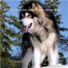 View full profile for Snowlion Alaskan Malamutes