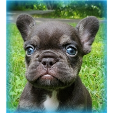 View full profile for Little Angel French Bulldogs