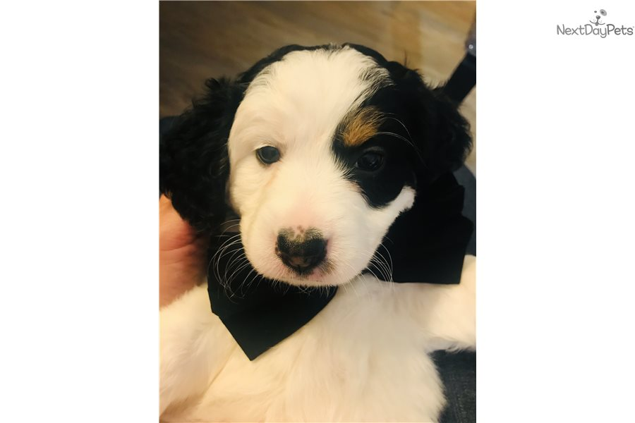 Mini Cher Bernedoodle Puppy For Sale Near Ocala Florida