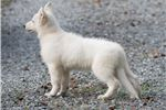 Picture of Berger Blanc Suisse Import Puppy Show Quality