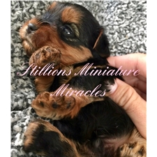 View full profile for Stillions Miniature Miracles Ranch
