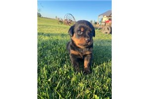 Picture of Rottie