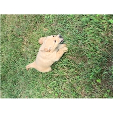 View full profile for Kayla's Goldens