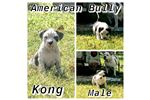 Picture of AMERICAN BULLY KONG