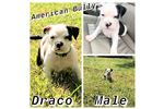 Picture of AMERICAN BULLY Draco