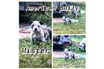Picture of AMERICAN BULLY 2019