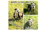 Picture of AMERICAN BULLY Bruno