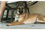 Picture of Gorgeous Malinois pup
