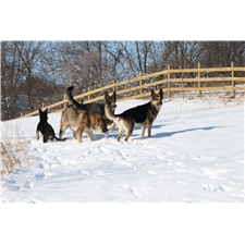 View full profile for Menards Legendary German Shepherds