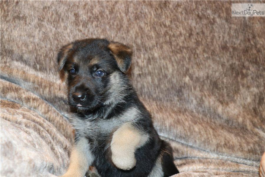 Puppies: Buy German Shepherd Puppy For Sale Near Me In Czechia