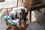 Picture of Old English Sheepdog Silica