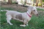Featured Breeder of Smooth Dachshunds with Puppies For Sale