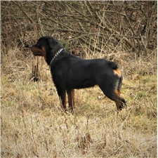 View full profile for Shadde Barig Rottweilers
