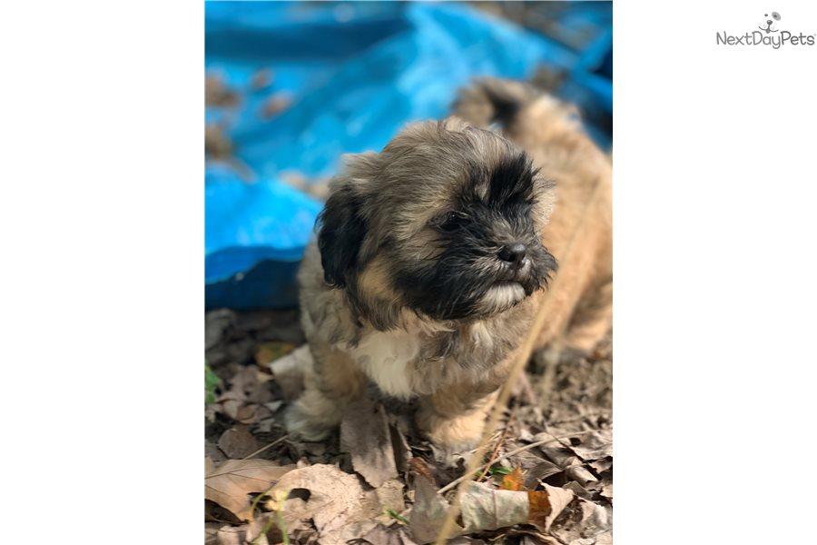 Chubs: Shih Tzu puppy for sale near Mansfield, Ohio ...