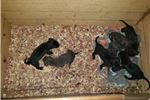 Picture of Cane corso litter