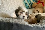 Picture of Bengy - Daisy Dog Puppy ShihPoo Shichon/Zuchon Mix