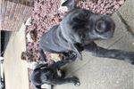 Delilah's 3rd litter  | Puppy at 12 weeks of age for sale