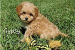 Picture of Gypsy Maltipoo puppy for sale in Grand Island Fl