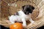 Picture of Teddy bear puppy Kitty for sale in Florida