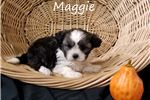 Picture of Teddy bear puppy Maggie for sale in Florida