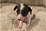 Picture of White/Blue Female Italian Greyhound Puppy - Bianca