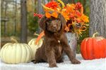 Picture of F1 Standard Male Newfypoo/Newfiedoodle
