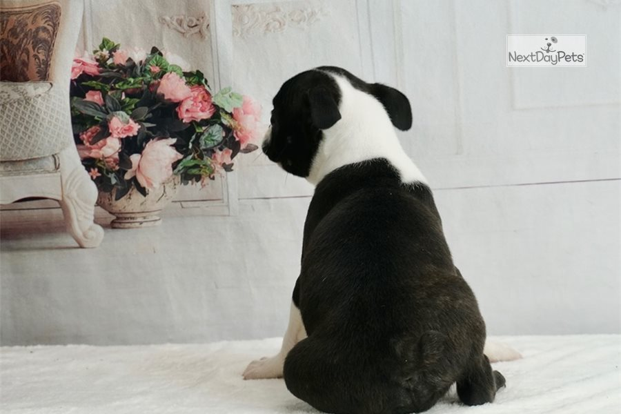 Akc Santino Boston Terrier Puppy For Sale Near Fort Wayne Indiana 04e98ec5 51b1
