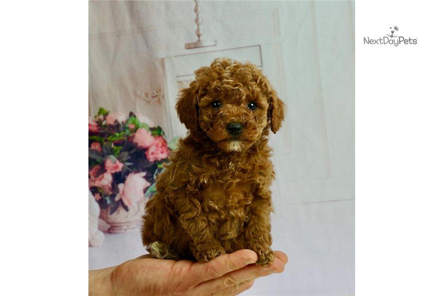 Akc Twizzy: Poodle, Miniature puppy for sale near Indiana USA