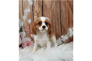 Cavalier King Charles Spaniels for sale