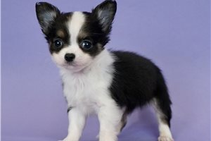 Chico - Chihuahua for sale